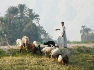 басня пастух и овци